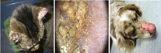 Malattie autoimmuni   Giordana Zanna - Dermatologo Veterinario