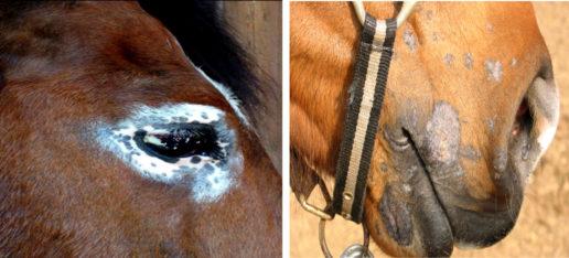 malattie-dermatologiche-del-cavallo